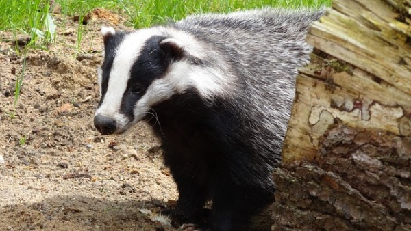 badger-44202_640