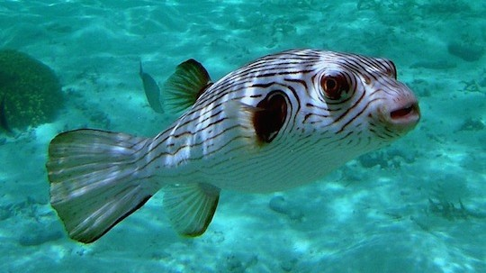 narrow-lined-puffer-586338_1280